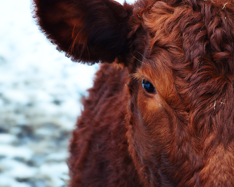 Cow, Animal, Brown, Animals, Cattle, Cows, Winter