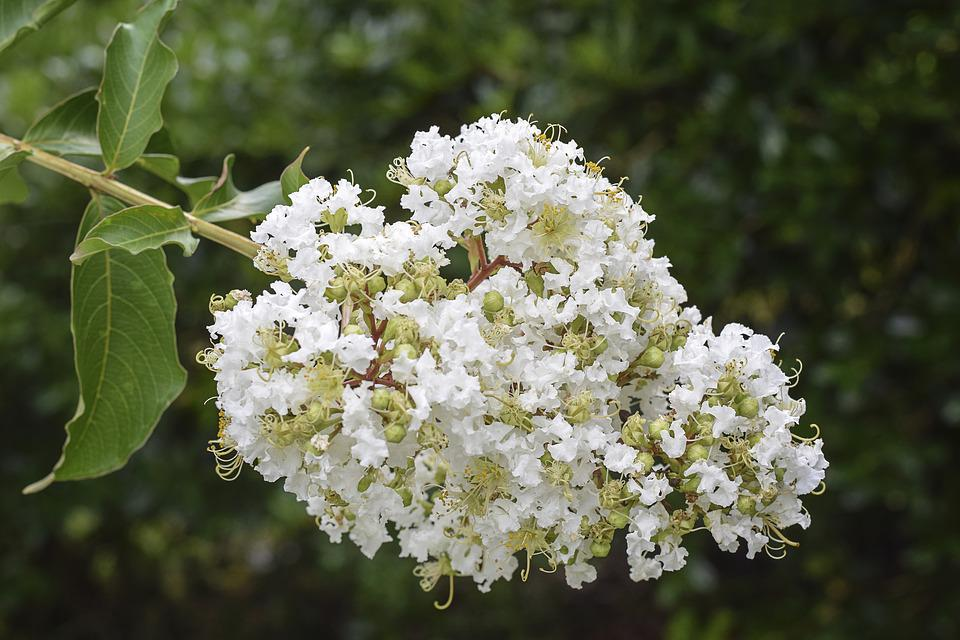 Free photo brown crape myrtle floral green flowers white max pixel flowers floral crape myrtle white green brown mightylinksfo