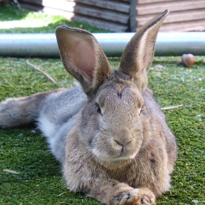 Hare, Rabbit, Ears, Rest, Easter, Animal, Nager, Brown