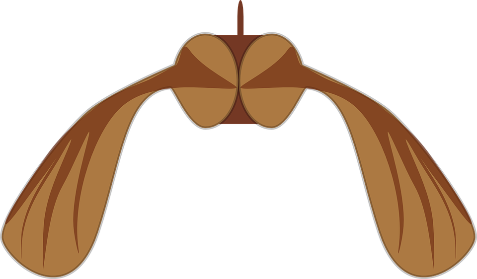 Maple, Seed, Biology, Helicopter, Autumn, Brown, Fall