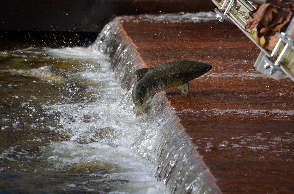 Salmon, Spawning, Jumping, Wildlife, Fish, Brown Fish