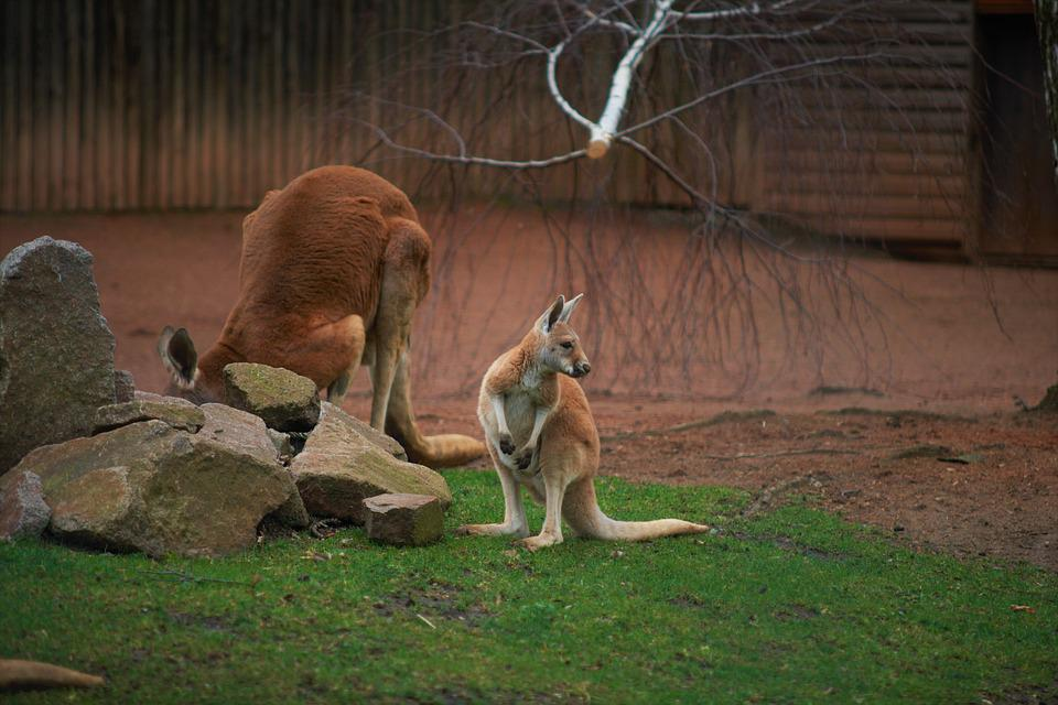 Känguru, Animel, Wildlife, Focus, Brown Focus