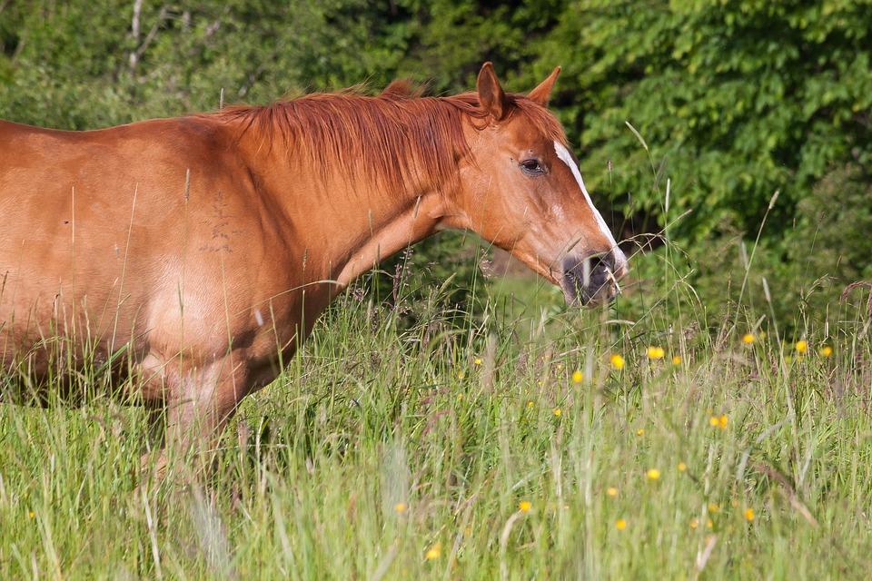 Horse, Brown, Fuchs, Pasture, Grass, High, Graze