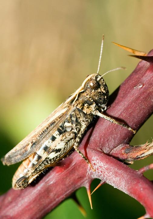 Brown Grasshopper, Chorthippus Brunneus