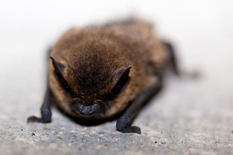 Animal, Bat, Brown, Close-up, Creature, Ear, Fur, Hair