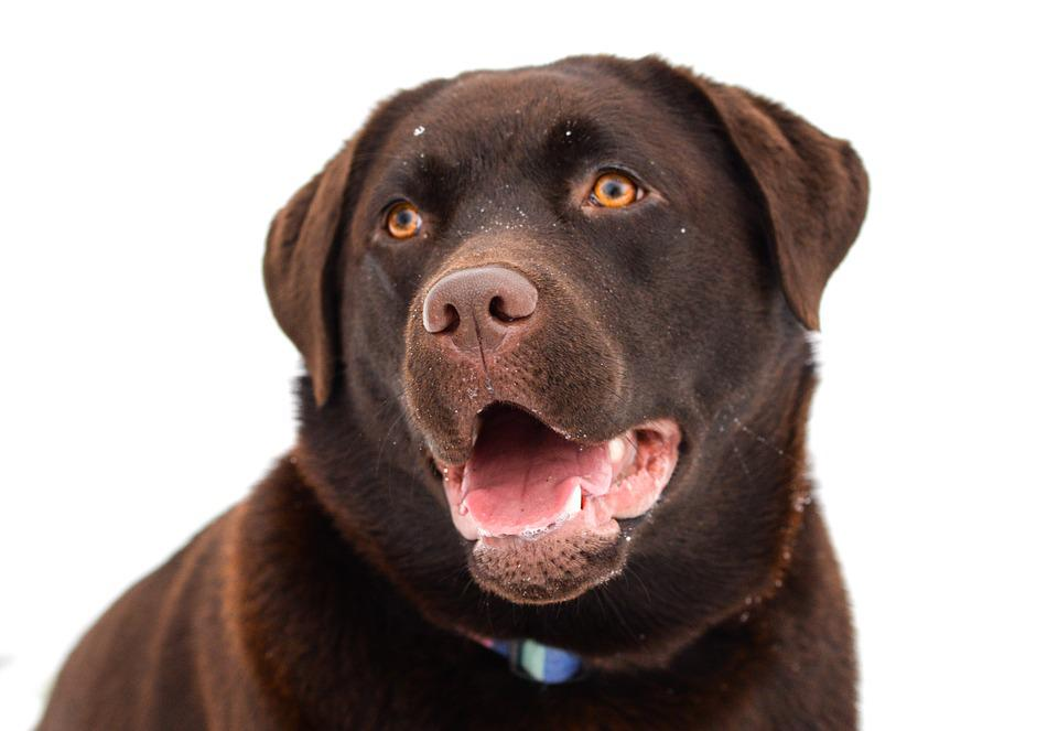 Labrador, Brown, Dog, Happy, Animal, Pet, Retriever