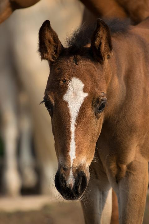 Foal, Small, Paint Horse, Horse, Animal, Brown, Blaze