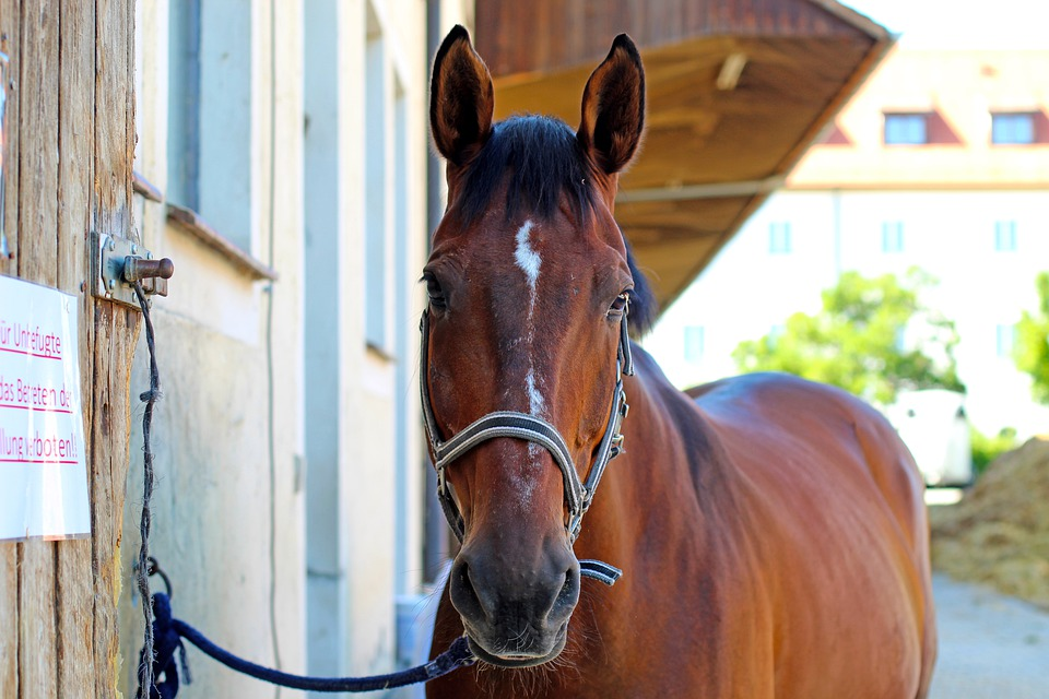 Saddle Horse, Horse Head, Equestrian, Brown, Mane
