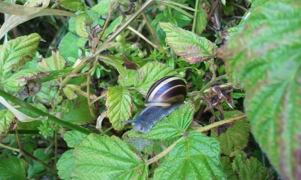 Snail, Big, Insect, Animal, Shell, Brown, Nature