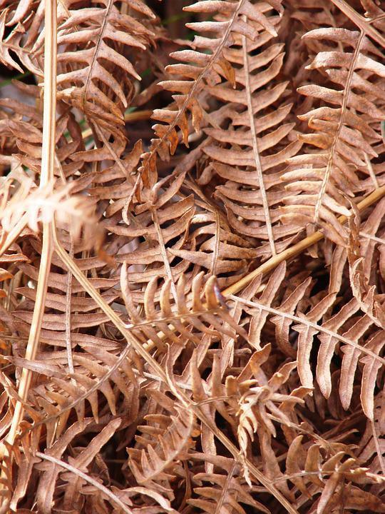 Autumn, Fern, Nature, Plant, Close, Brown, Brownish