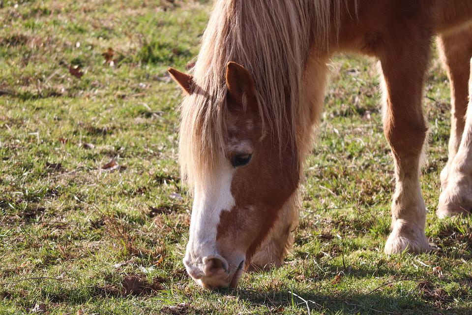 Horse, Graze, Eat, Mane, Head, Saddle Horse, Brown, Out