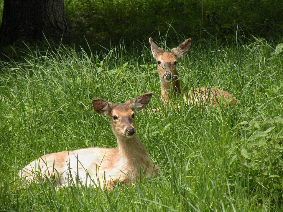 Doe, Grass, Animal, Female, Brown, Wildlife, Outdoor