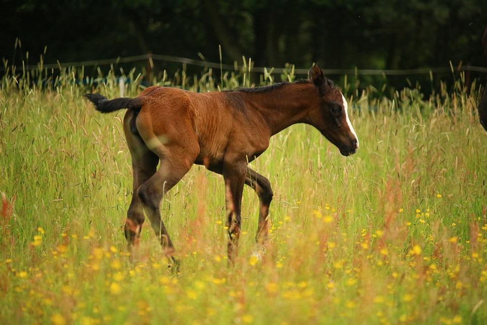 Foal, Horse, Brown, Pasture, Suckling