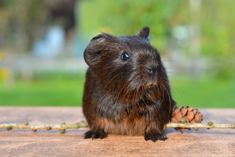Guinea Pig, Pet, Nager, Rodent, Animal, Cute, Brown