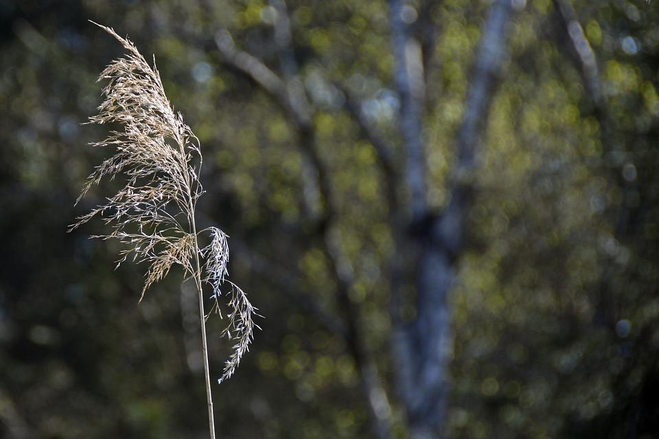 Reed, Nature, Pond Plant, Close, Plant, Grass, Brown