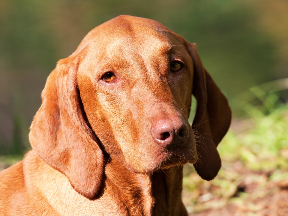 Dog, Brown, Hungarian Vizsla, Purebred Dog