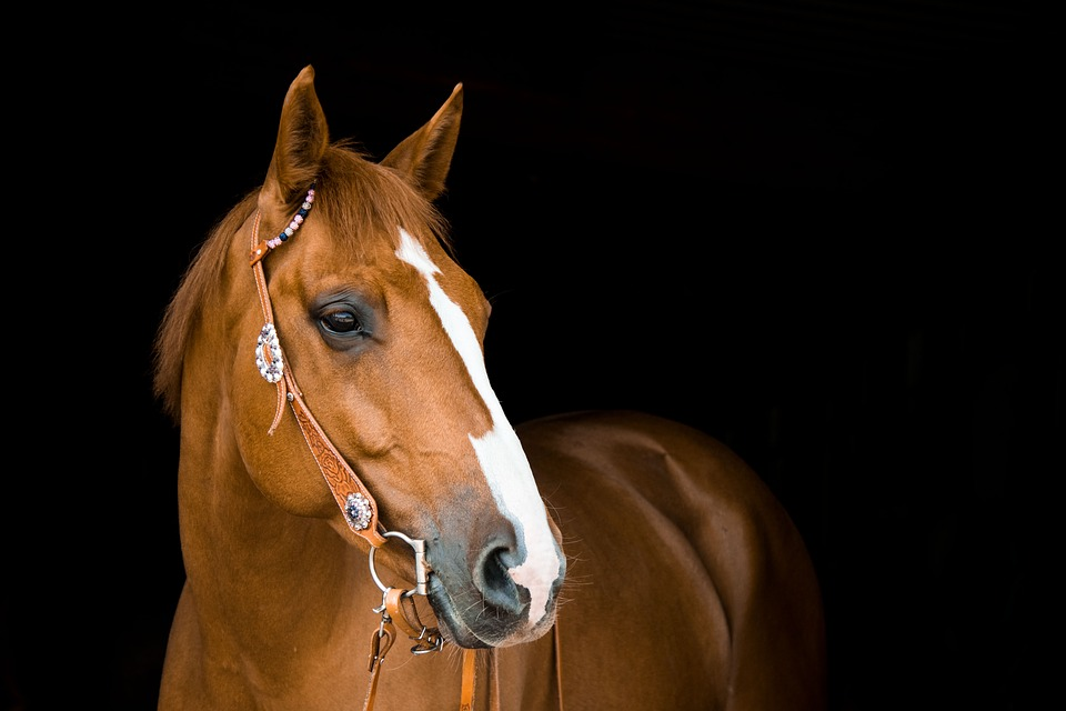 Horse, Mare, Bridle, Animal, Ride, Equestrian, Brown