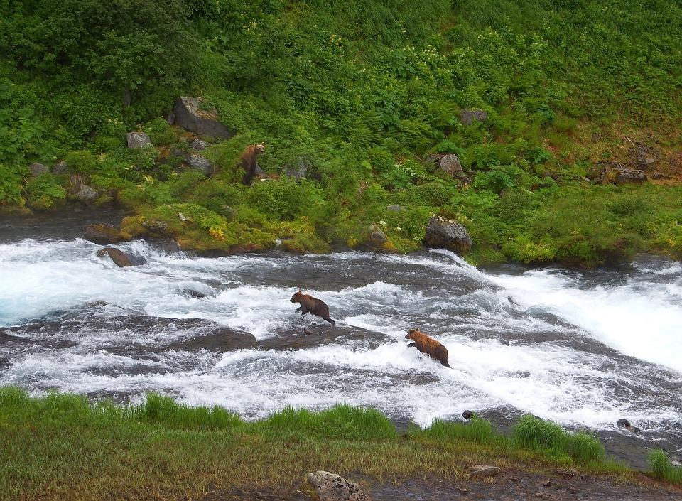 Bears, Brown, Kamchatka Bear, Family, Brood, River