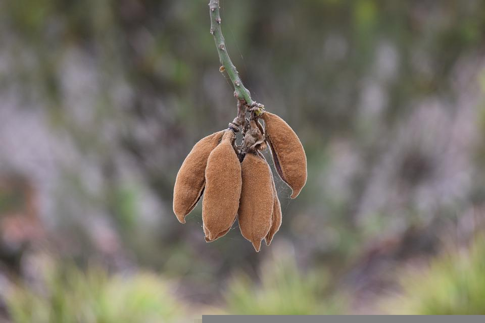 Seed Pod, Nature, Natural, Brown, Agriculture