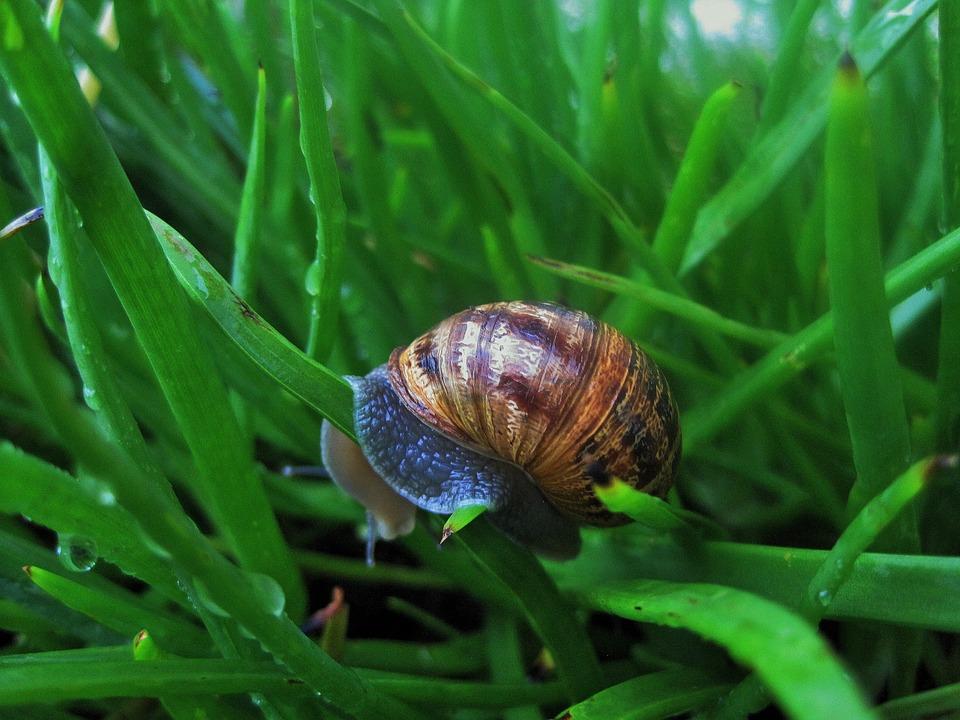 Snail In Bulbinella, Snail, Garden, Brown, Shell
