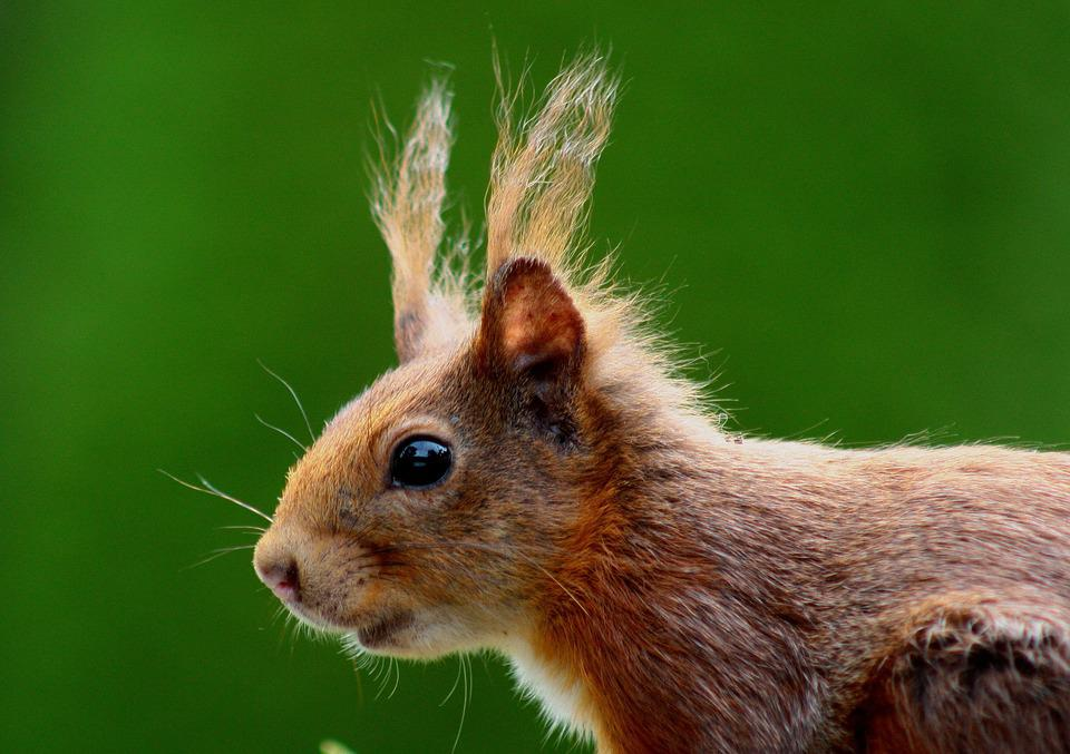Squirrel, Nager, Brown, Nature, Fur, Ears, Rodent, Cute