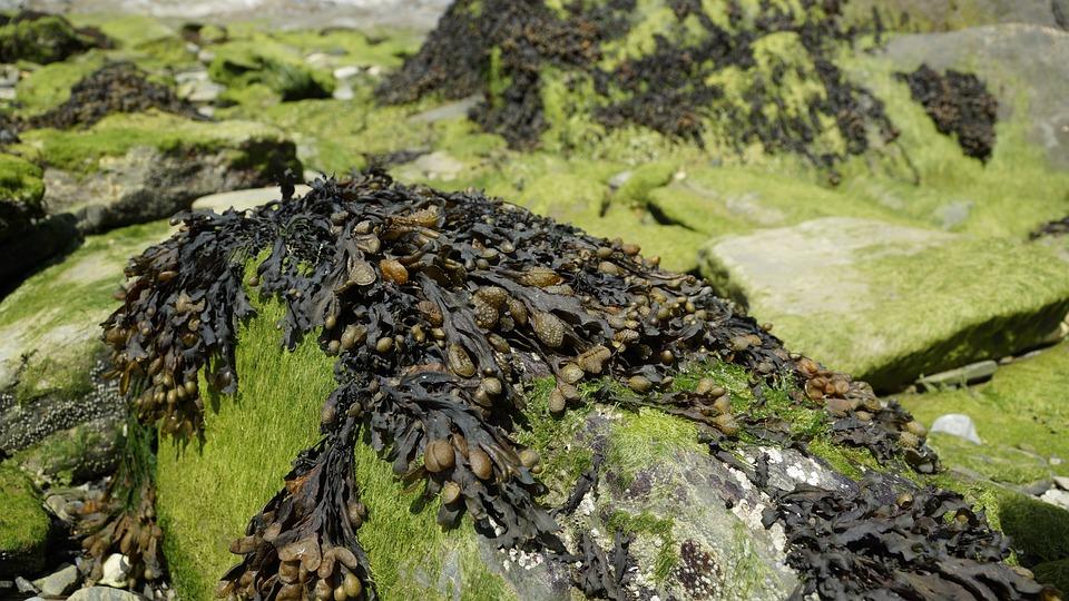 Seaweed, Algae, Tang, Brown, Ocean, Stone
