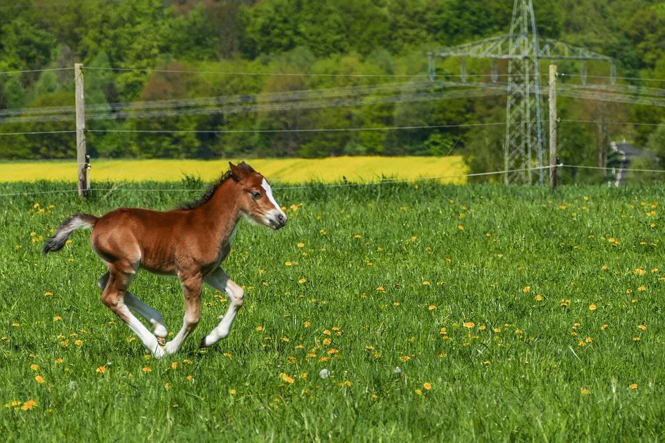 Stallion Foal Galloping, Pony Foal, Brown, White Boots
