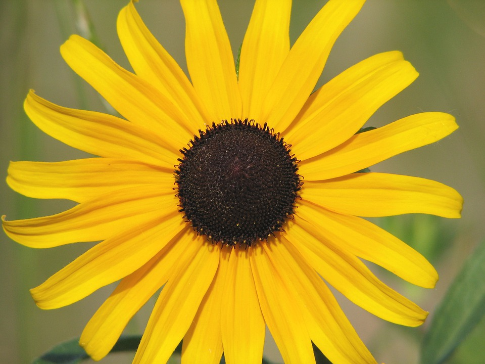 Yellow, Flower, Sunflower, Brown, Eyed, Wildflower