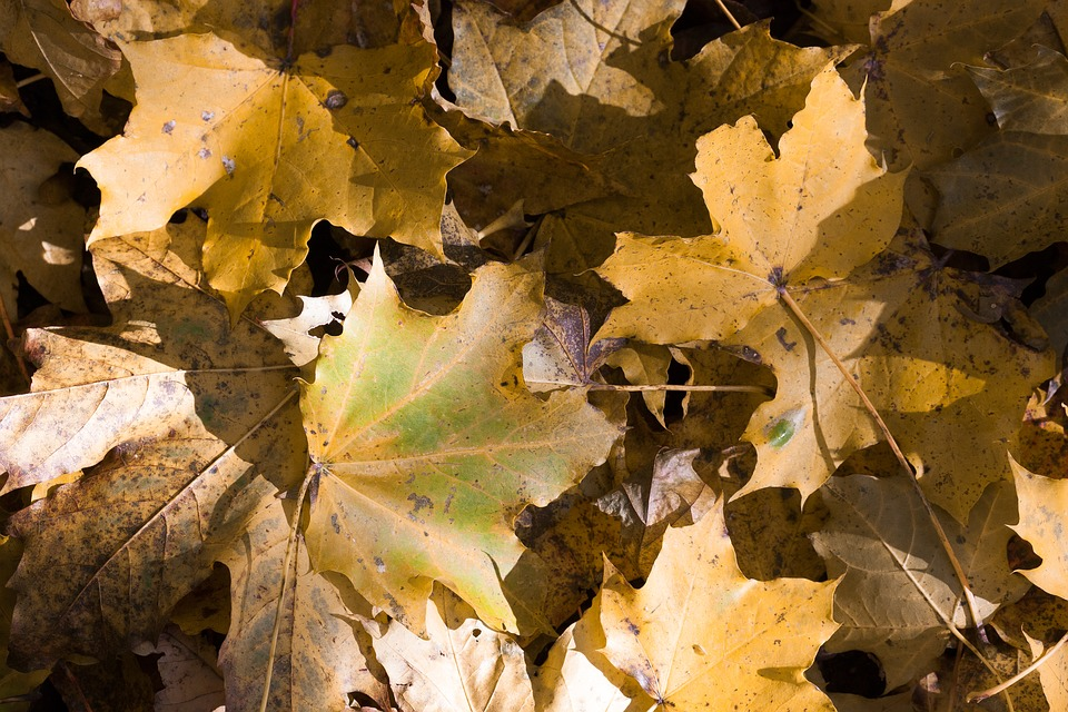 Maple, Autumn, Leaf, Yellow, Green, Brown, Leaves