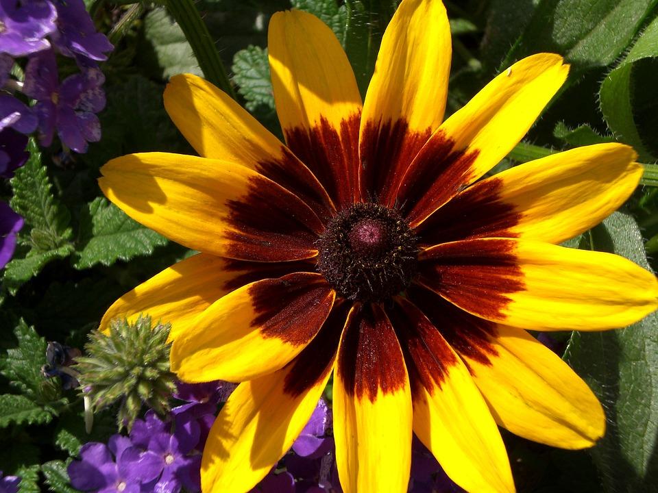free photo brown eyed daisy daisy yellow daisy black eyed susan