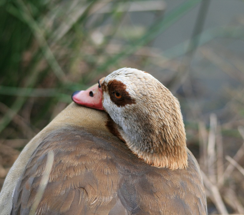 Egyptian Goose, Goose, Fowl, Browns, Buffs, Eye-patch