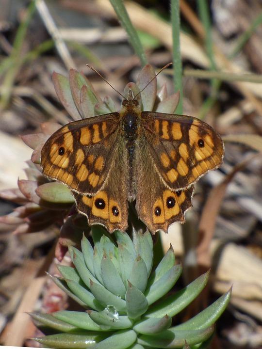 Butterfly, Pararge Aegeria, Bruna Bosc, Maculada