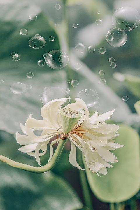 Green, Bubble, Lotus, Nature