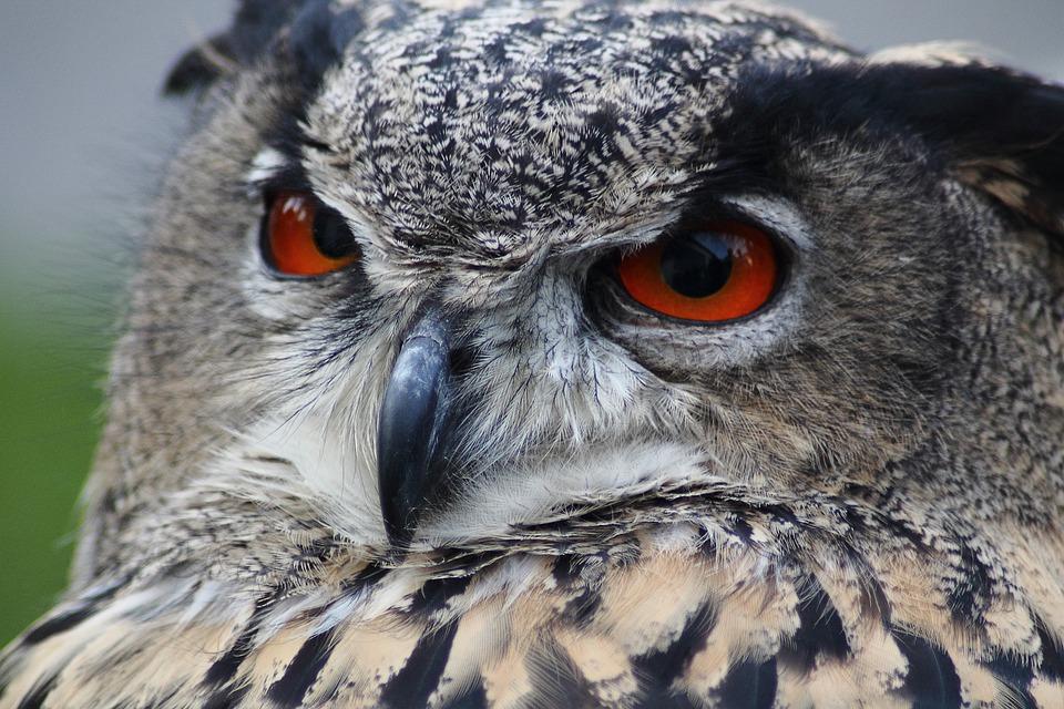 Eagle Owl, Owl, Bubo Bubo, Bird, Animal, Nocturnal
