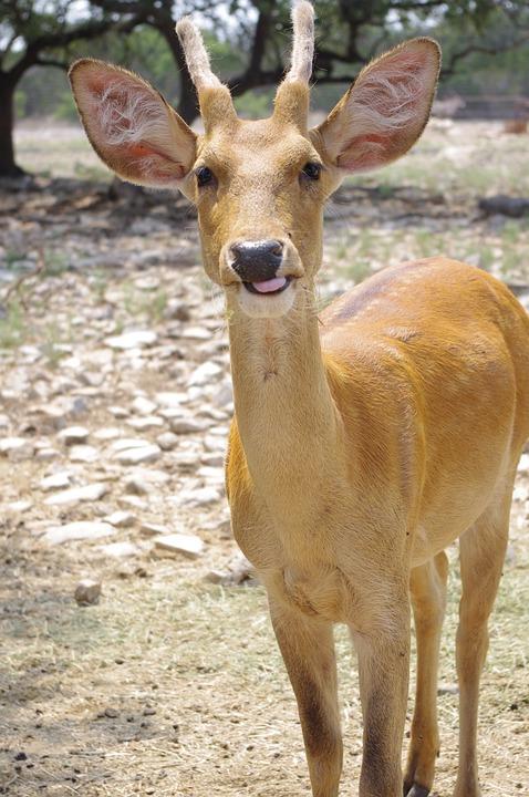 Deer, Antler, Funny, Wildlife, Buck, Brown, Fallow Deer