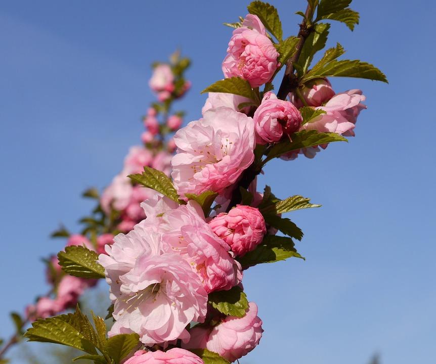 Almond Tree, Branch, Bud, Flowers, Almond Blossom