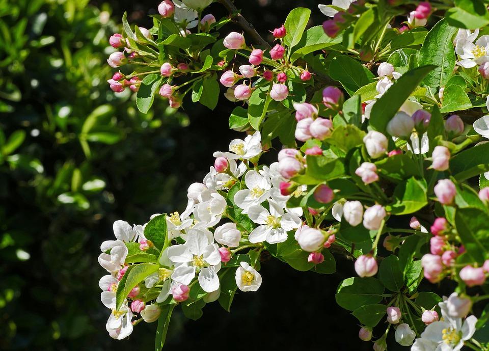 Apple Blossom, Branch, Flowers, Bud, Lush, Nature