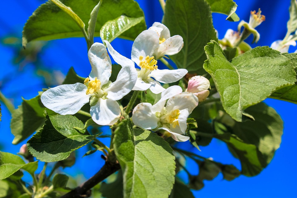 Apple Blossom, March, Bud