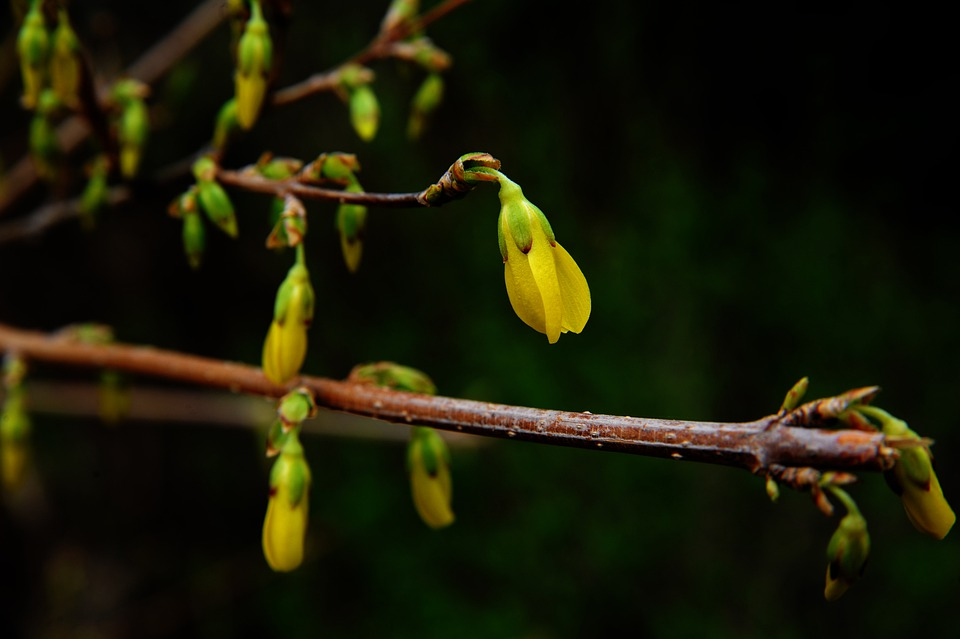 Berberine Alice, Bud, Want To Put, Plant, Spring