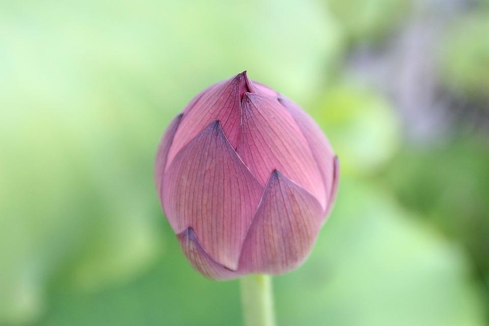 Lotus Bud, Lotus, Flower, Bloom, Bud, Blooming, Plant