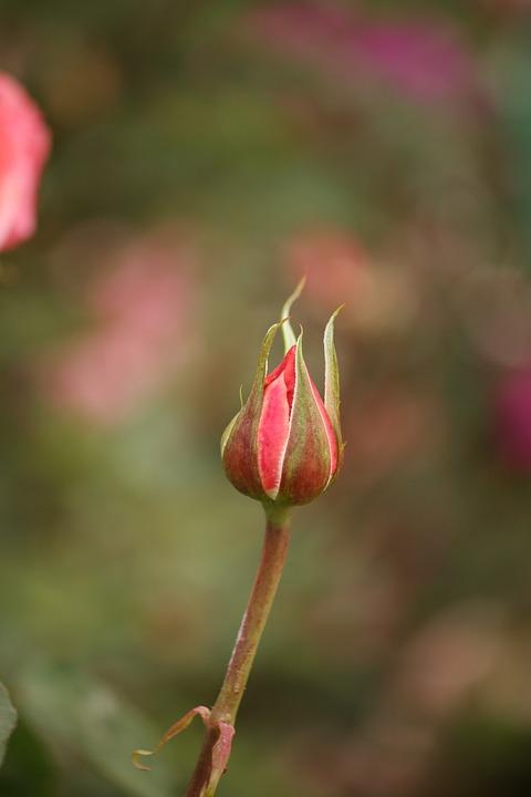 Rose, Bud, Flower, Blossom, Pink, Romantic, Bloom