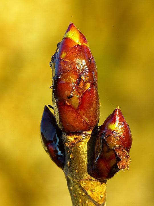 Bud, Chestnut, Chestnut Bud, Tree, Spring, Brown