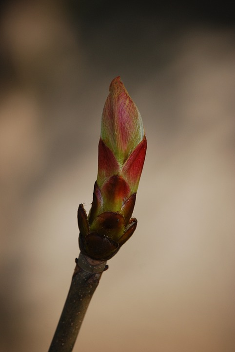 Bud, Spring, Branch, Chestnut, Nature
