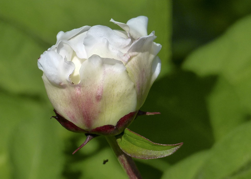 Bud, Rhododendron, White, Flower, Bush, Flowering Shrub