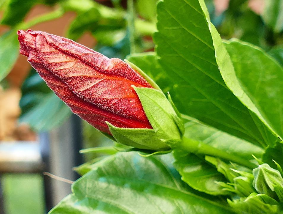 Hibiscus, Garden, Red, Plant, Blossom, Bloom, Bud
