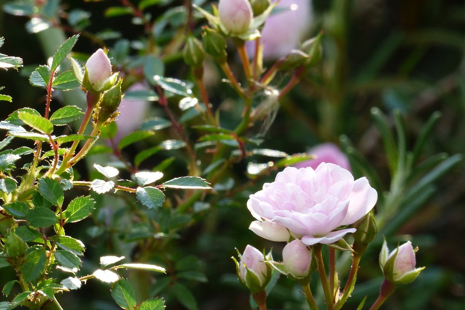 Flowers, In The Early Summer, Japan, Pink, Rose, Bud