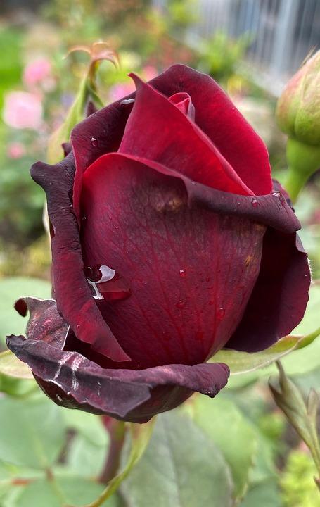 Rose, Bud, Red, Green, Bloom, Garden, Flower, Leaf