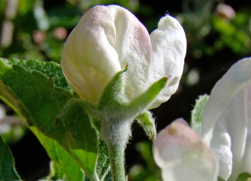 Bud, Apple Blossom, White, Nature