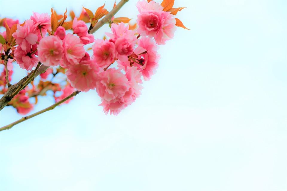 Flower, Nature, Spring, Tree, Branch, Cherry, Pink, Bud