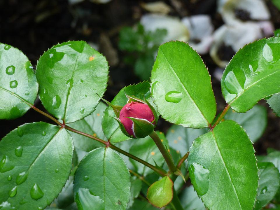Rose, Pink, Nature, Bud, Flower, Blossom, Bloom